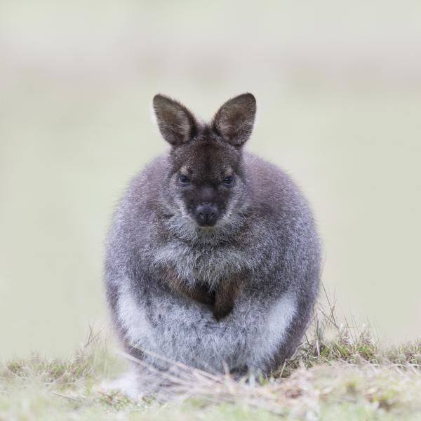 Bennetts Wallaby - Craig Greer - Inala Nature Tours