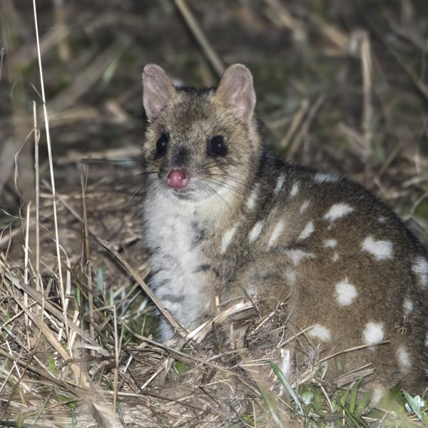 Eastern Quoll - Craig Greer - Inala Nature Tours