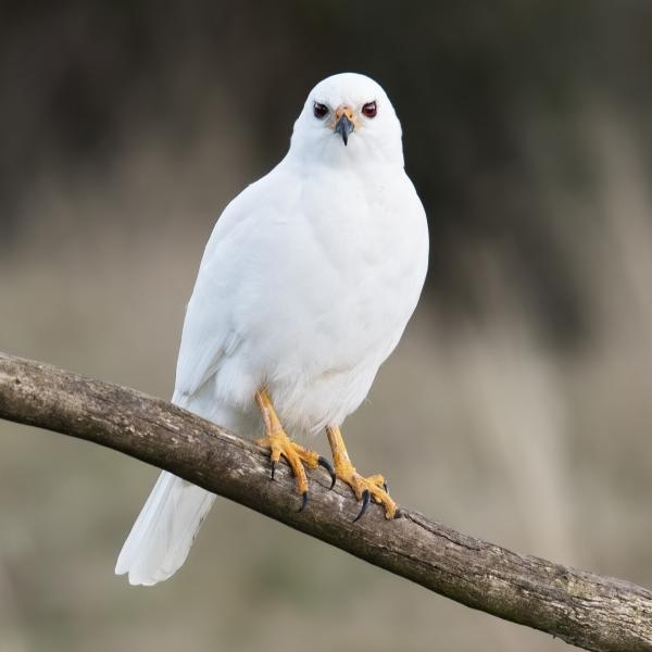 Grey Goshawk - Craig Greer - Inala Nature Tours