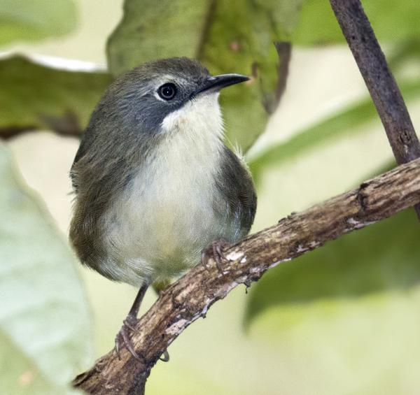 Scrub Tit - Craig Greer - Inala Nature Tours