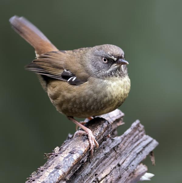 Scrub Wren - Craig Greer - Inala Nature Tours