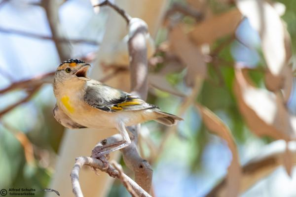 Red-browed Pardalote race rubricatus - Alfred Schulte - Inala Nature Tours