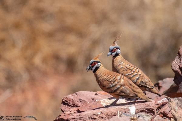 Spinifex Pigeon - Alfred Schulte - Inala Nature Tours