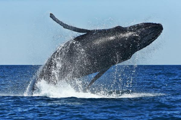 Humpback Whale - Rod Hartvigsen - Inala Nature Tours