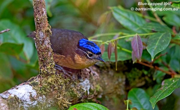 Blue Capped Ifrit - G. Jones - Inala Nature Tours