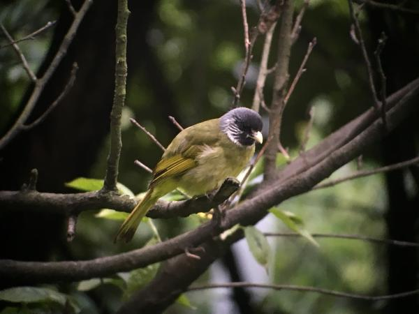 Collared Finchbill - Tonia Cochran - China Sichuan - Inala Nature Tours