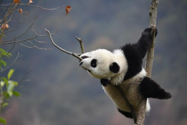 Giant Panda - Philip He - China Sichuan - Inala Nature Tours