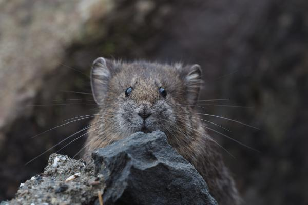 Glover's Pika - Bella Zhang - China Sichuan - Inala Nature Tours