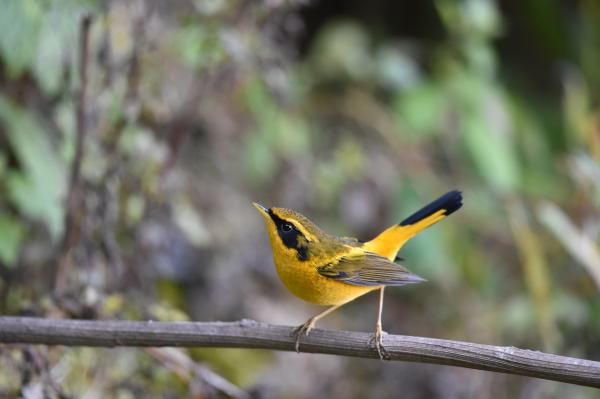 Golden Bush Robin - Philip He - China Sichuan - Inala Nature Tours