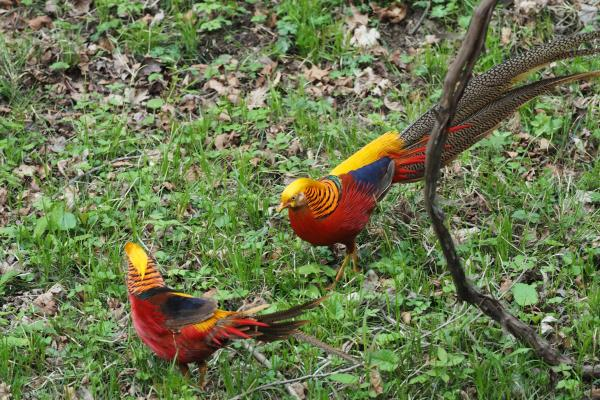 Golden Pheasant - Bella Zhang - China Sichuan - Inala Nature Tours
