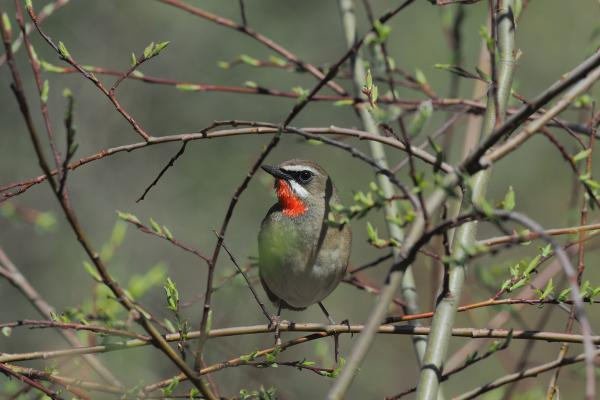 Siberian Rubythroat - Bella Zhang - China Sichuan - Inala Nature Tours