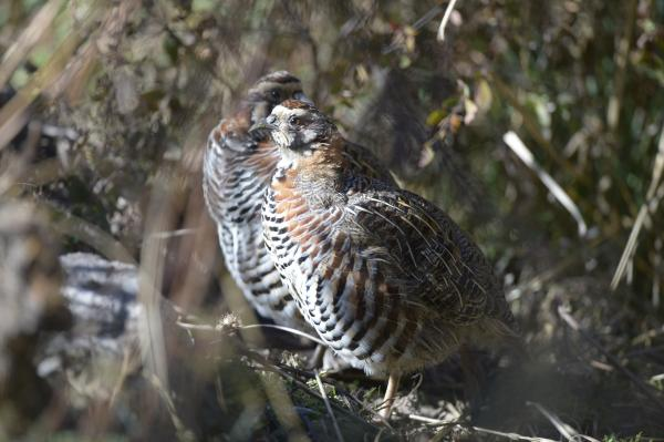 Tibetan Partridge - Philip He - China Sichuan - Inala Nature Tours