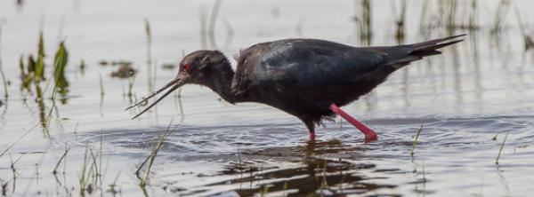 Black Stilt - Alfred Schulte - Inala Nature Tours