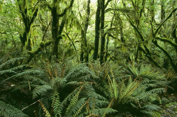 Blechnum discolor - Mark Hanger - Inala Nature Tours