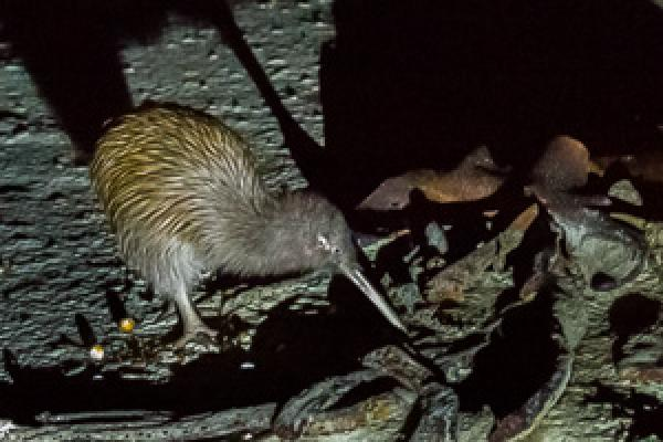 Brown Kiwi on Stewart Island - Alfred Schulte - Inala Nature Tours