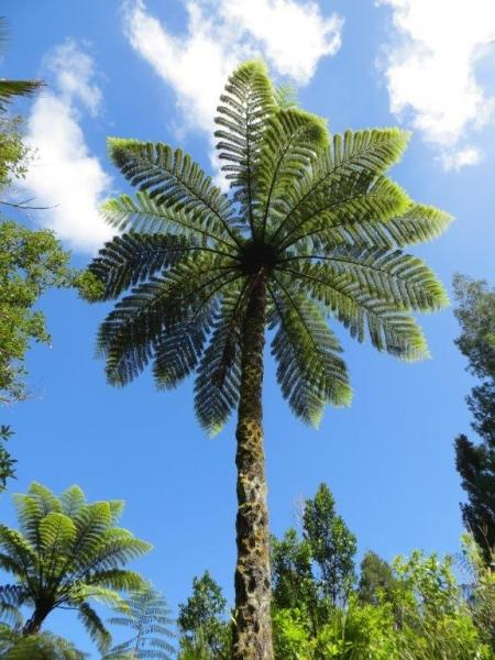 Cyathea medullaris - Mark Hanger - Inala Nature Tours