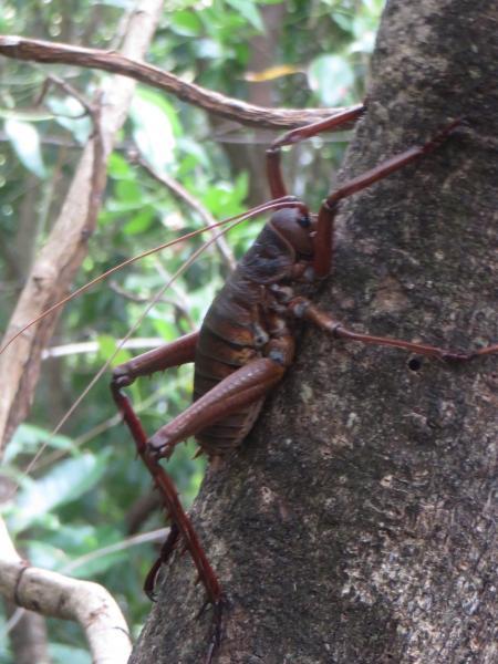 Giant flightless cricket - Wetapunga - Mark Hanger - Inala Nature Tours