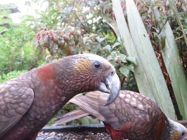 Kaka- Mark Hanger - Inala Nature Tours