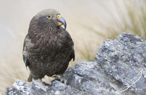 Kea - Angus McNab - Inala Nature Tours