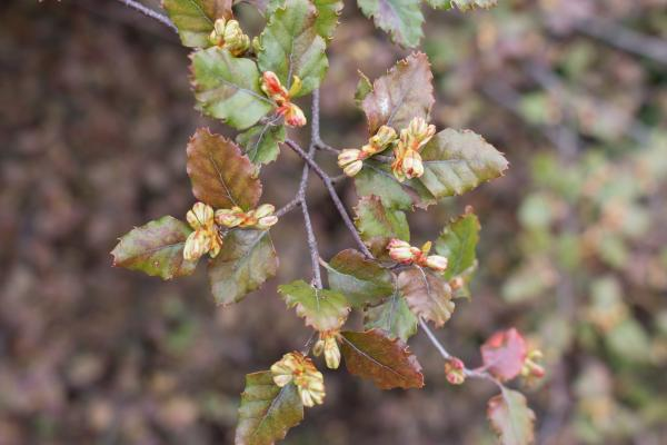 Red Beech (Nothofagus fusca) in flower - Brad Moriarty - Inala Nature Tours