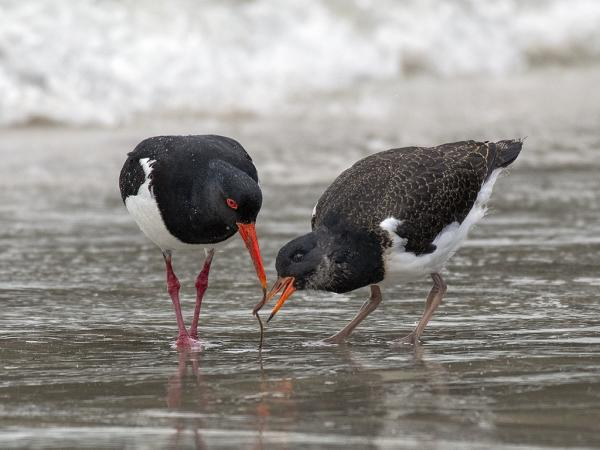 Inala Nature Tours - Ken & Mary Campbell - Pied Oystercatchers