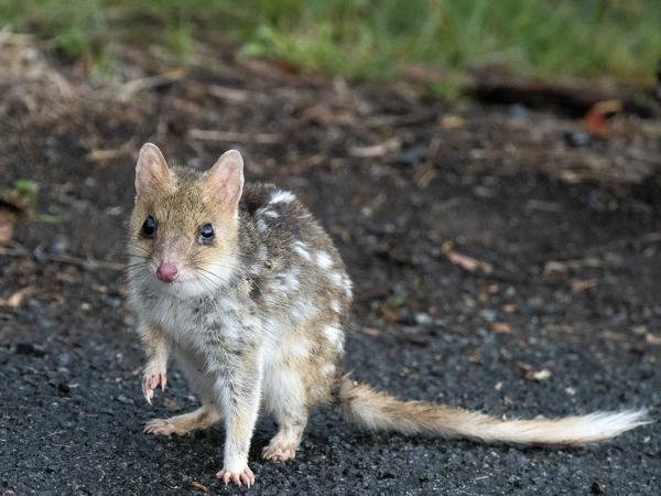 Inala Nature Tours - Ken & Mary Campbell - Eastern Quoll