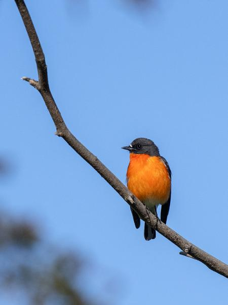 Inala Nature Tours - Ken & Mary Campbell - Flame Robin