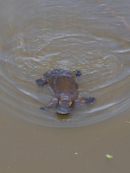 Inala Nature Tours - Ken & Mary Campbell - Platypus