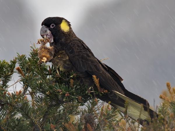 Inala Nature Tours - Ken & Mary Campbell - Yellow-tailed Black Cockatoo