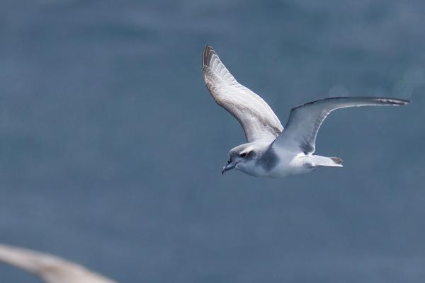 Antarctic Prion - Inala Nature Tours - Peter Vaughan