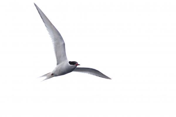 Arctic Tern - Inala Nature Tours - Peter Vaughan