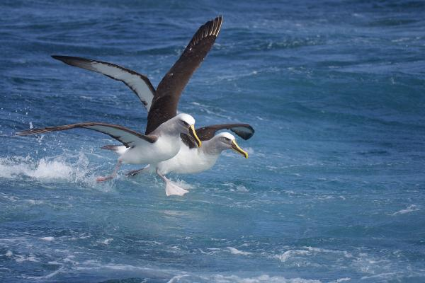 Buller's Albatross - Inala Nature Tours - Peter Vaughan