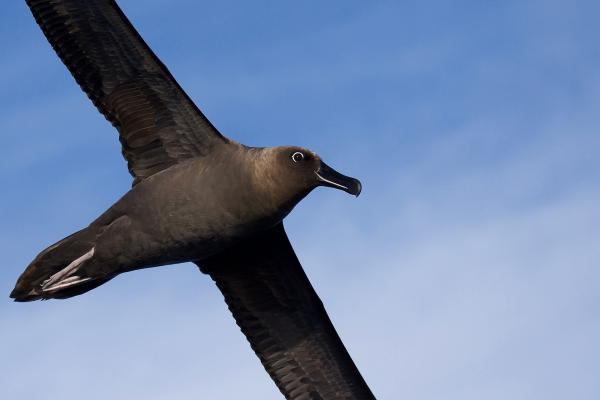 Sooty Albatross - Inala Nature Tours - Peter Vaughan