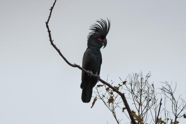 Inala Nature Tours - Palm Cockatoo - Stewart Bentley