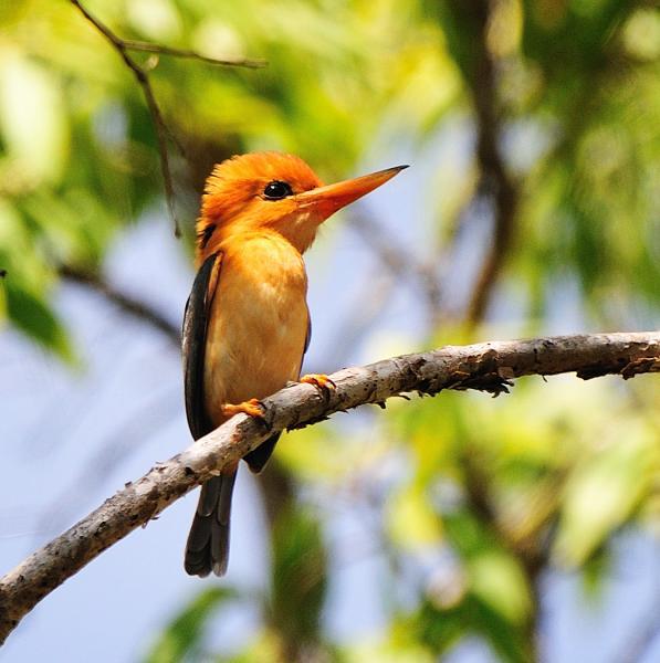Inala Nature Tours - Yellow-billed Kingfisher - Pat Kelly