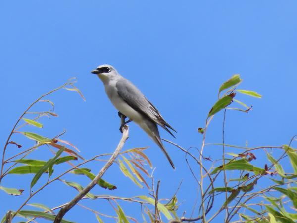Inala Nature tours - White-bellied Cuckoo-shrike - David Hewitt
