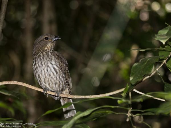 Inala Nature Tours - Tooth-billed Bowerbird - Alfred Schulte