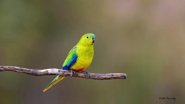 Orange-bellied Parrot - Keith Kennedy - Inala Nature Tours