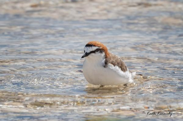 Red-capped Plover - Keith Kennedy - Inala Nature Tours
