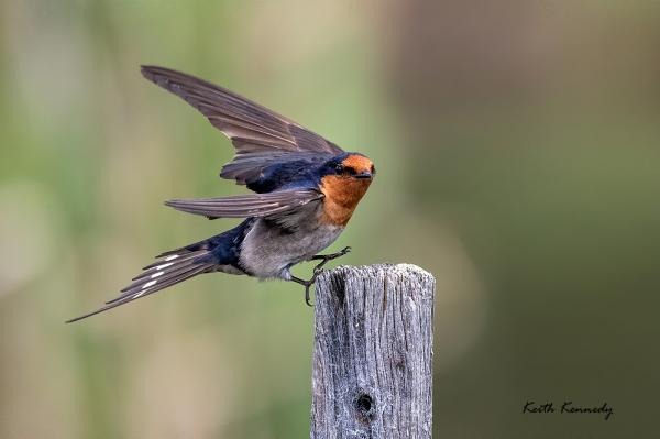 Welcome Swallow - Keith Kennedy - Inala Nature Tours