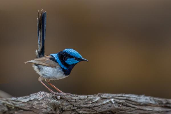 Superb Fairywren - Alfred Schulte - Inala Nature Tours