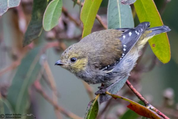 Forty-spotted Pardalote by Alfred Schulte