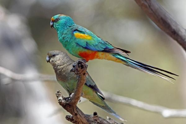 Mulga Parrot by Peter Waanders