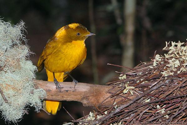 Golden Bowerbird - Photograph Jonathan Munro - Inala Nature Tours