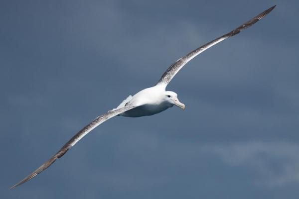Southern Royal Albatross - B. Stephenson - Inala Nature Tours