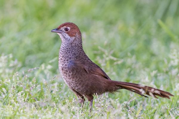 Rufous Bristlebird - Inala Nature Tours - Photographer Dennis Braddy