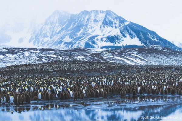 South Georgia King Penguin Colony - Adam Riley