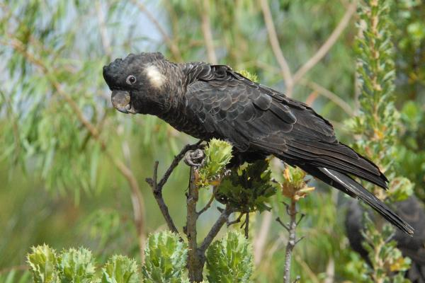 Carnaby's Black Cockatoo - by Pat Kelly