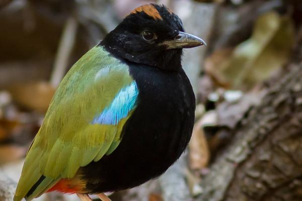 Rainbow Pitta - Photograph by Alfred Schulte - Inala Nature Tours