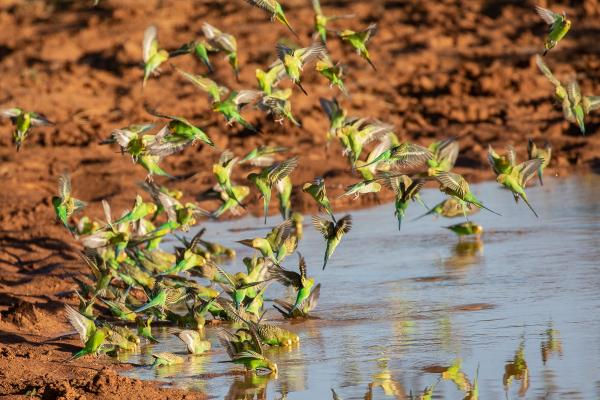 Alfred Schulte - Budgerigars - Inala Nature Tours